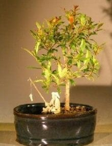 Flowering Dwarf Pomegranate Bonsai Tree For Sale Water/Land Container - Small (Punica Granatum)