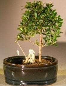 Flowering Brush Cherry Bonsai Tree For Sale Water/Land Container - Small (eugenia myrtifolia)
