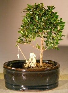 Flowering Brush Cherry Bonsai Tree For Sale Water Land Container Small Eugenia Myrtifolia Bonsai Tree Gardener