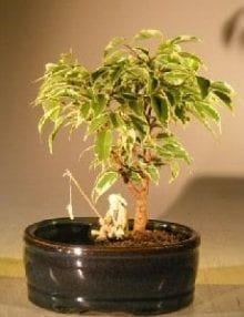 Ficus Bonsai Tree For Sale Variegated Water/Land Container - Small (ficus benjamina)