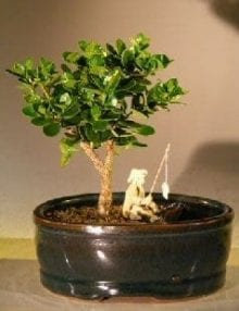 Flowering Dwarf Plum Bonsai Tree For Sale Water/Land Container - Small (carissa macrocarpa)