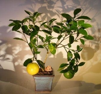 Navel Orange Bonsai Tree For Sale - Seedless (Citrus' Sinensis)