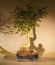 Oriental Ficus Coiled Bonsai Tree For Sale - Large (ficus benjamina 'orientalis')