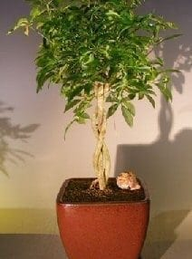 Hawaiian Umbrella Bonsai Tree For Sale Braided Twist - Variegated (Arboricola Schefflera 'Luseanne')
