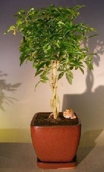 Hawaiian Umbrella Bonsai Tree For Sale Braided Twist Variegated Arboricola Schefflera Luseanne Bonsai Tree Gardener