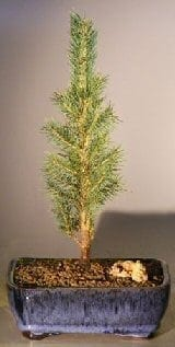 Colorado Blue Spruce Bonsai Tree For Sale - Medium (picea pungens)