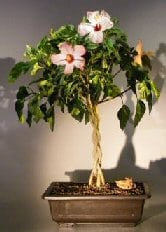 Hibiscus Bonsai Trees Bonsai Tree Gardener