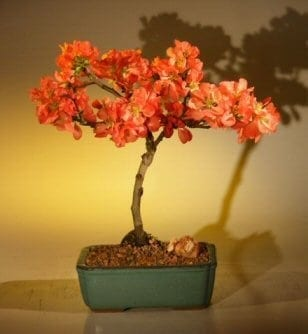 Japanese Flowering Quince Bonsai Tree For Sale Super Red Chaenomeles Japonica Moned Bonsai Tree Gardener