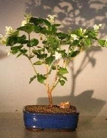Flowering Arabian Jasmine Bonsai Tree For Sale (jasminum sambac)