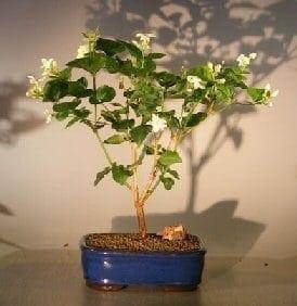 Flowering Arabian Jasmine Bonsai Tree For Sale (jasminum sambac)