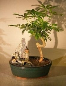 Hawaiian Umbrella Bonsai Tree For Sale - Coiled Trunk Stone Landscape Scene (Arboricola Schefflera 'Luseanne')