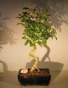 Hawaiian Umbrella Bonsai Tree For Sale - Large Coiled Trunk Style (Arboricola Schefflera 'Luseanne')