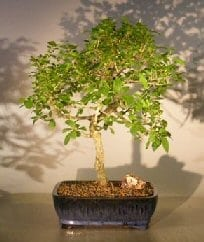 Flowering Escambron Bonsai Tree For Sale (clerodendrum aculeatum)