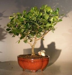 Flowering Tropical Dwarf Apple Bonsai Tree For Sale Extra Large (clusia rosea 'nana')
