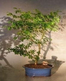 Flowering Brazilian Raintree Bonsai Tree For Sale Extra Large (pithecellobium tortum)