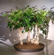 Ficus Braided Twist Bonsai Tree For Sale Three Tree Forest Group (ficus compacta)