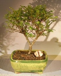 Chinese Seiju Elm Bonsai Tree For Sale (ulmus parvifolia 'seiju')
