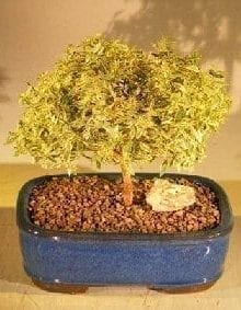 Flowering Myrtle Bonsai Tree For Sale - Variegated (myrtus communis 'compacta')