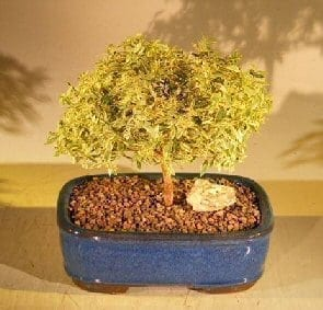 Flowering Myrtle Bonsai Tree For Sale - Variegated (myrtus communis 'compacta')