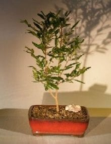 Flowering Mickey Mouse Bonsai Tree For Sale (ochna serrulata)