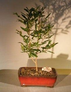 Flowering Mickey Mouse Bonsai Tree For Sale (ochna serrulata)