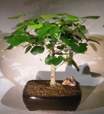 Flowering Sea Hibiscus Bonsai Tree For Sale (hibiscus tiliaceus)