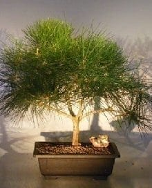 Japanese Black Pine Bonsai Tree For Sale (pinus thunbergii)