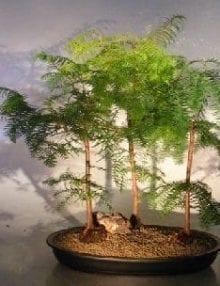 Redwood Bonsai Tree For Sale Three(3) Tree Forest Group (metasequoia glyptostroboides)