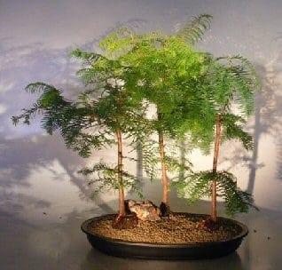 Redwood Bonsai Tree For Sale Three 3 Tree Forest Group Metasequoia Glyptostroboides Bonsai Tree Gardener