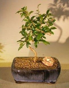 Flowering Fukien Tea Bonsai Tree For Sale Coiled Trunk Style (ehretia microphylla)