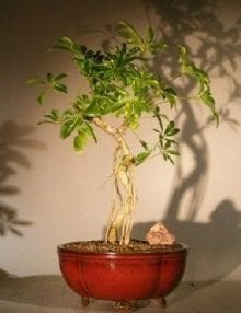 Hawaiian Umbrella Bonsai Tree For Sale Coiled Trunk Banyan Style (arboricola schefflera 'luseanne')