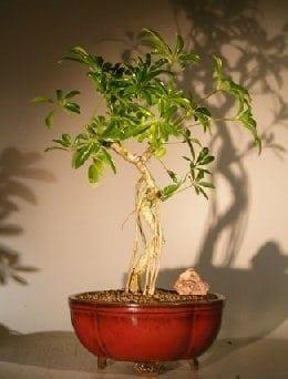 Hawaiian Umbrella Bonsai Tree For Sale Coiled Trunk Banyan Style (arboricola schefflera 'luseanne')