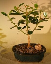 Flowering Tropical Dwarf Apple Bonsai Tree For Sale - Small (clusia rosea 'nana')