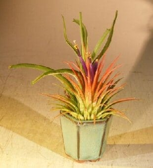 Flowering Tillandsia Bonsai Tree For Sale Air Plant (epiphytic)