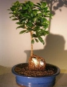 Ginseng Ficus Bonsai Tree For Sale Root Over Rock Style #1 (Ficus Retusa)
