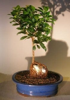 Ginseng ficus bonsai trees bonsai tree gardener - Bonsai ficus ginseng entretien ...