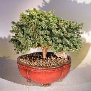 Dwarf Norway Spruce Bonsai Tree For Sale (picea abies 'pygmaea')