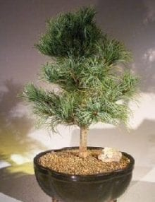 Japanese White Pine Bonsai Tree For Sale (pinus parviflora 'bergman')