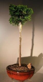 Hinoki Cypress Bonsai Tree For Sale Upright Style (chamecyparis obtusa 'verdoni')