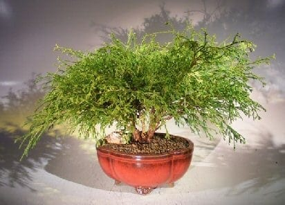 Green Thread Cypress Bonsai Tree For Sale (chamaecyparis pisifera 'golden mop')