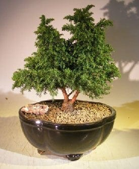 Cryptomeria Bonsai Tree For Sale - Large (japonica - tansu)
