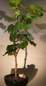 Wine Grape Bonsai Tree For Sale Chardonnay
