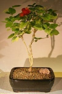 Flowering Coolie Cap Bonsai Tree For Sale (AKA Chinese Hat) (holmskioldia sanguinea)