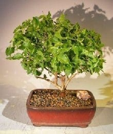 Flowering Downy Jasmine Bonsai Tree For Sale (jasminum 'multiflorum')