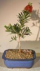 Flowering Bottlebrush Bonsai Tree For Sale - Little John - Small (Callistemon Citrinus Little John)