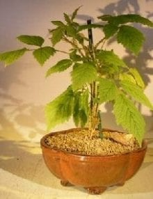 Flowering Raspberry Bonsai Tree For Sale(Raspberry Idaeobatus)