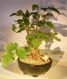 Flowering Blackberry Bonsai Tree For Sale (Rubus Fruitcosus)