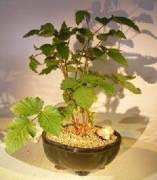 Flowering Blackberry Bonsai Tree For Sale (Rubus Fruitcosus)