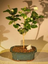 Flowering Grand Duke Jasmine Bonsai Tree For Sale (Jasminum sambac grand duke)