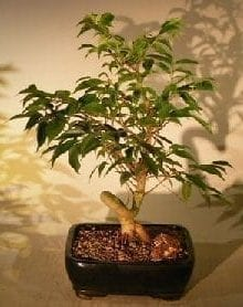 Oriental Ficus Coiled Bonsai Tree For Sale - Medium (ficus benjamina 'orientalis')